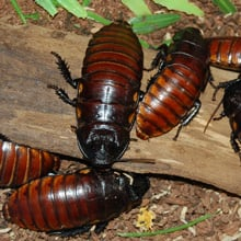 Fear of Cockroaches Phobia - Katsaridaphobia
