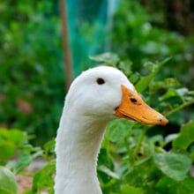 Fear of Ducks Phobia - Anatidaephobia