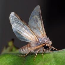 Fear of Moths Phobia - Mottephobia