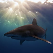 Fear of Sharks Phobia - Galeophobia