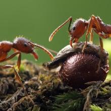 Fear of Ants Phobia - Myrmecophobia