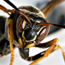 Fear of Wasps Phobia - Spheksophobia