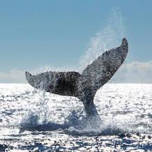 Fear of Whales Phobia - Cetaphobia